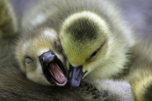 Почему гусята щиплют друг друга