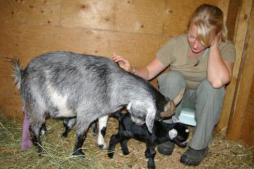 коза облизывает новорожденного козленка