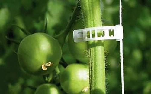 надежно подвязанный клипсой томат