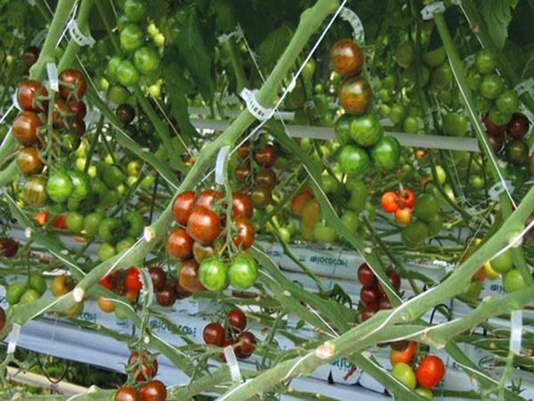 подвязка растений клипсами
