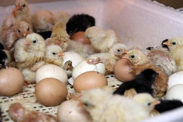 вывод цыплят в блице
