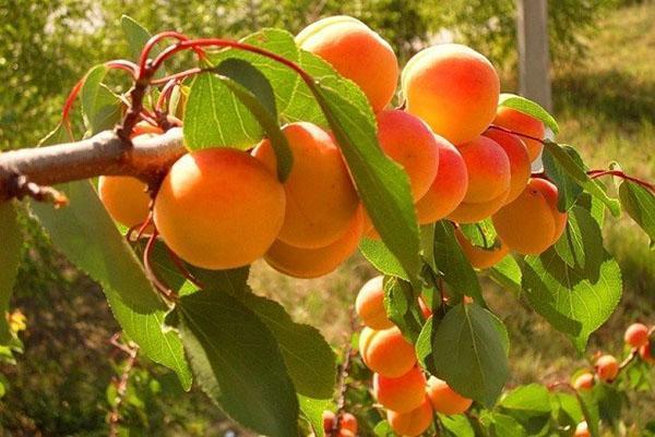 абрикос из косточки на даче