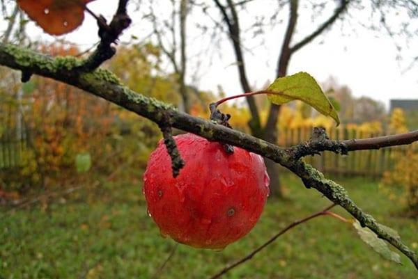 борьба с лишайниками на плодовых деревьях