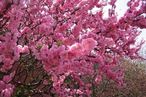 цветет абрикос в саду Подмосковья