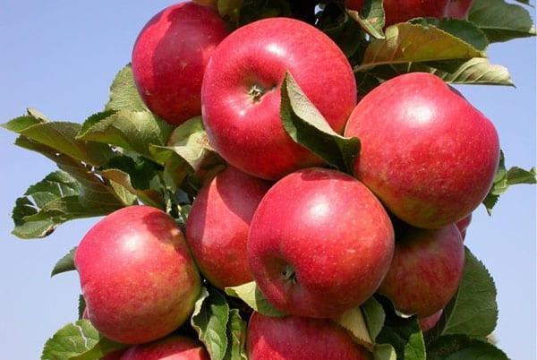 колоновидная яблоня сорта Важак