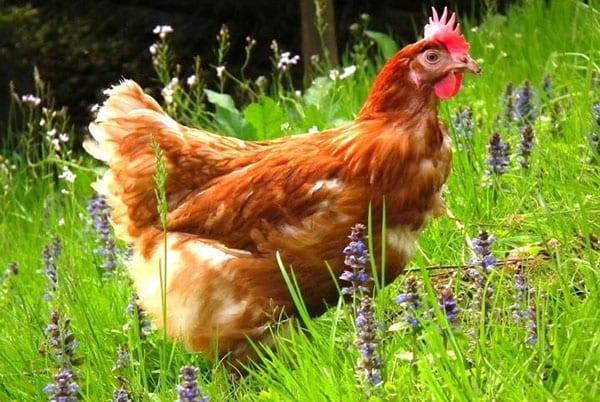 курица на свободном выгуле