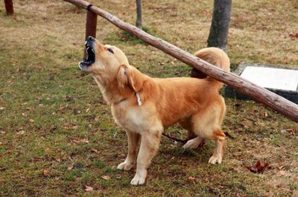громкий лай собаки
