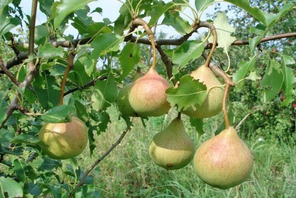 плоды груши Памяти Яковлева