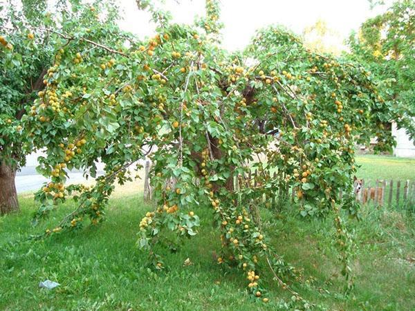 районированный сорт абрикоса для Подмосковья