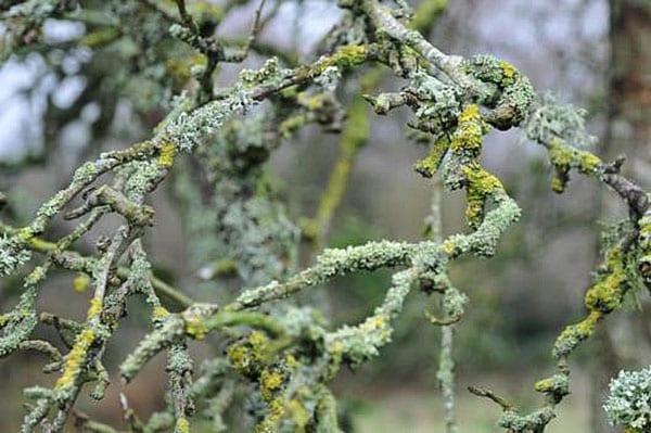 сильное поражение дерева лишайниками