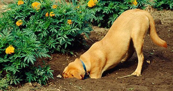 пес подрывает цветы
