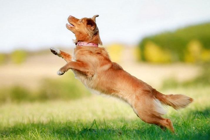прыжки собаки