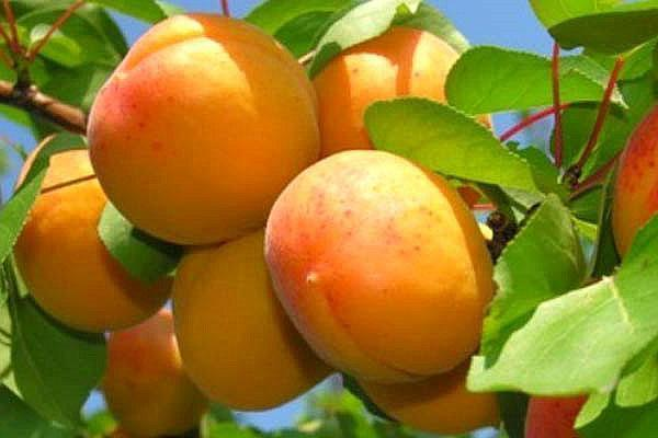 сорт абрикоса Северный триумф