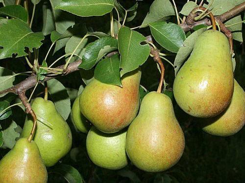спелые плоды груши