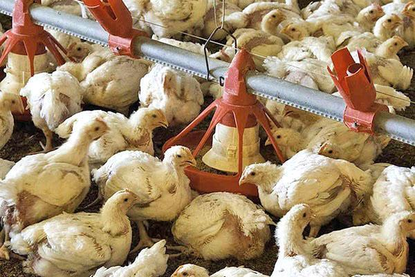 выпаивание цыплят медикаментами