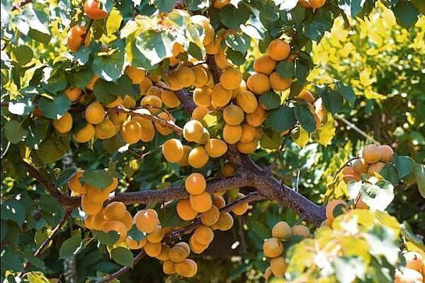 абрикос сорта Лель
