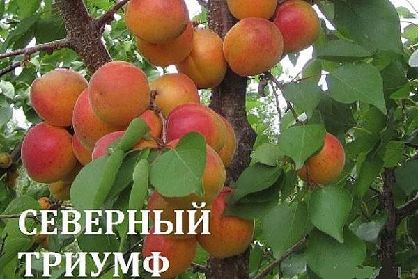 абрикос Северный Триумф