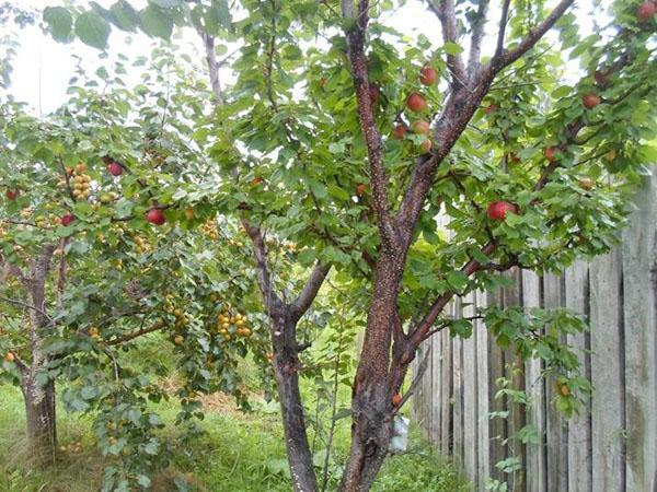 абрикосы в саду Железова