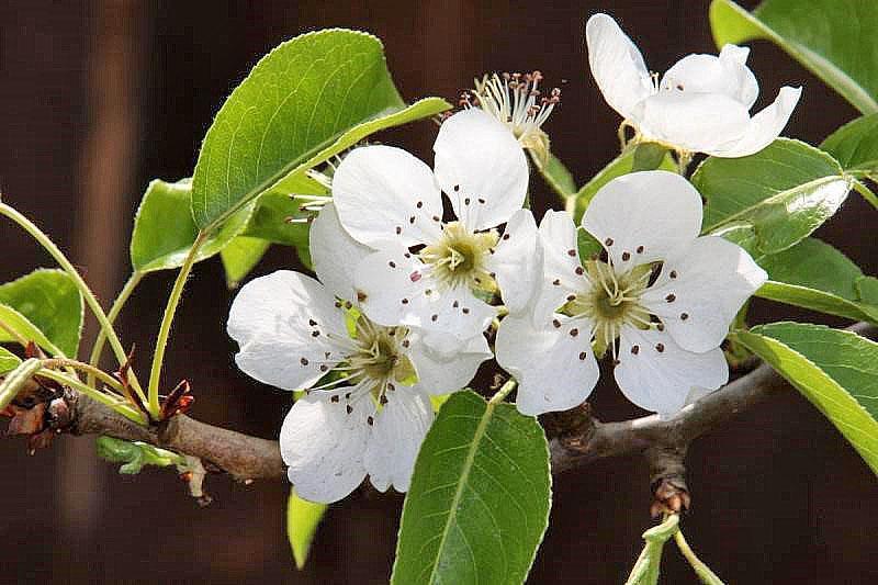 цветет сорт Северянка