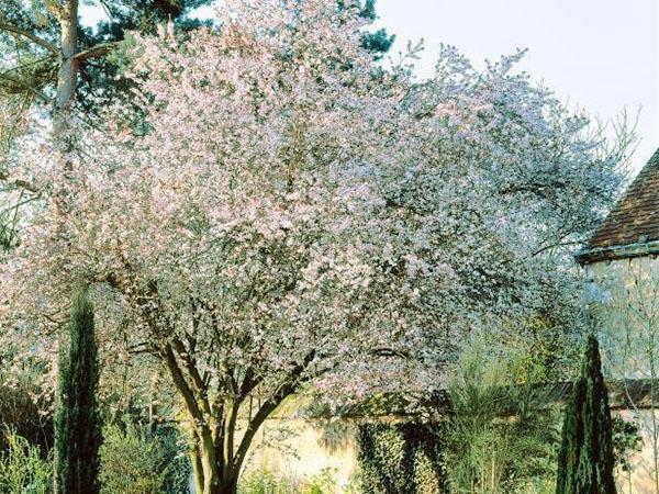 цветет черешня в Подмосковье