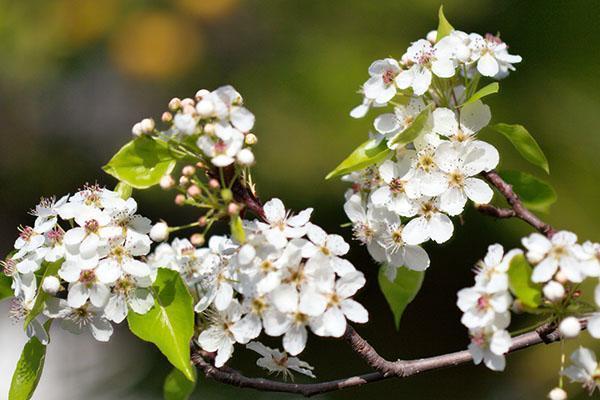 цветет груша Москвичка
