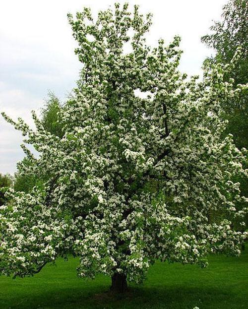 цветет груша Северянка