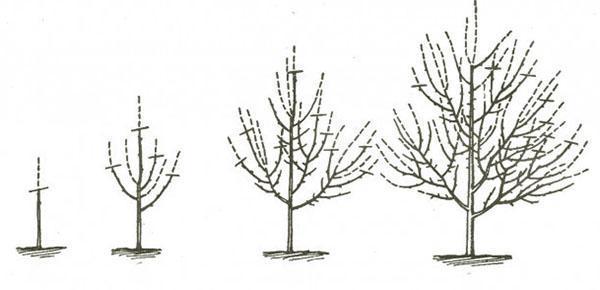 формирование кроны с 1 по 4 год