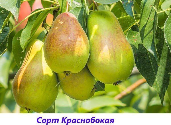 сорт Краснобокая