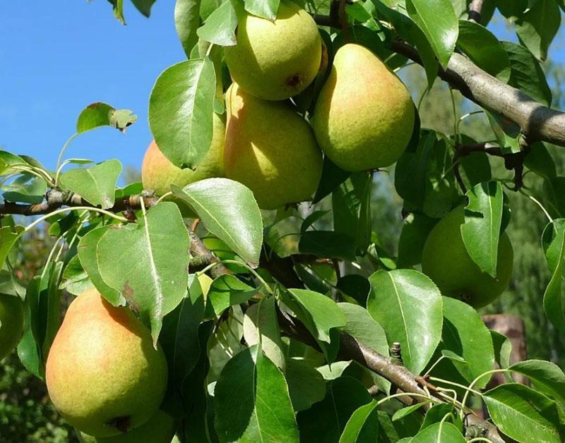 сорта груш для ростовской области фото сведения