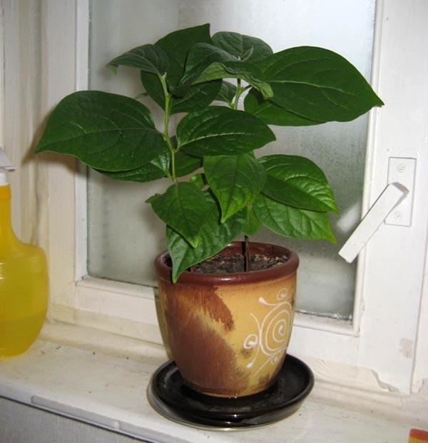 Выращивание хурмы из косточки в домашних условиях