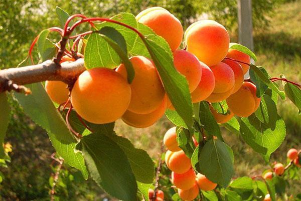 красивые сочные плоды