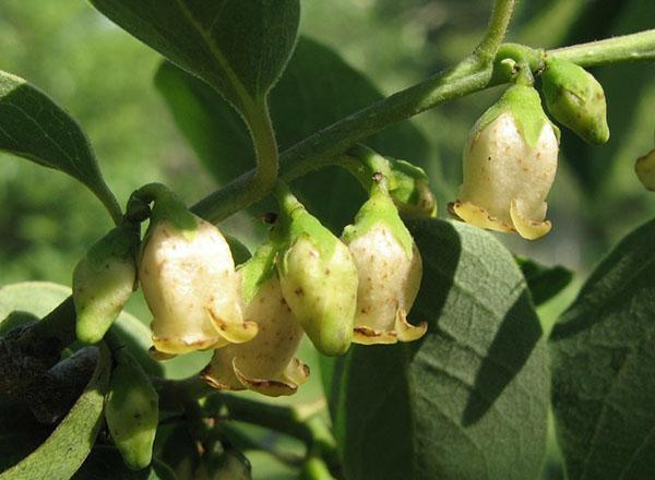 мужские цветы хурмы