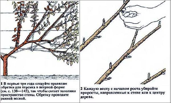 начало обрезки при веерной кроне дерева
