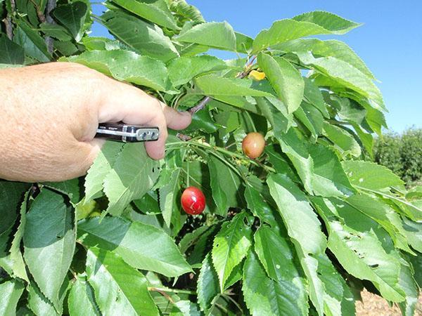 неодновременное созревание плодов