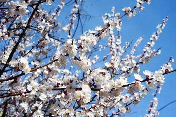 обильное цветение