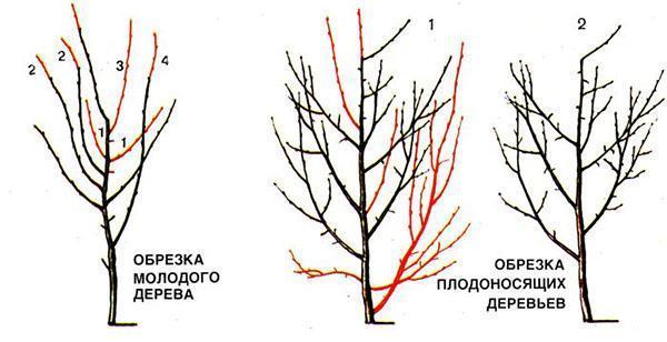 обрезка молодого и плодоносящего дерева
