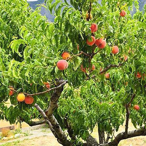 Обрезка персика на плодоношение: время и разновидности