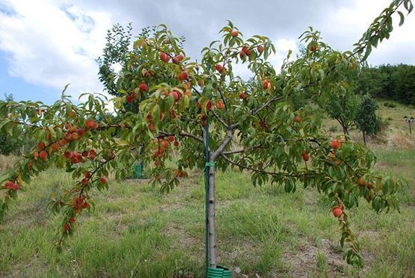 плодоносит молодое дерево
