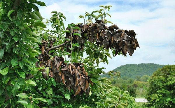 поражение листьев груши