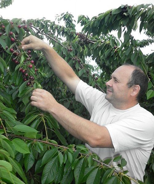 Описание сорта вишни Валерий Чкалов и характеристики плодов, плюсы и минусы, выращивание