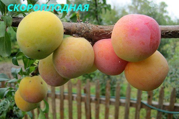 слива сорта Скороплодная