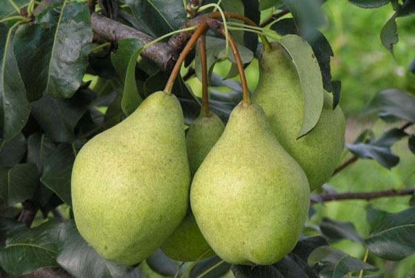 сочные крупные плоды