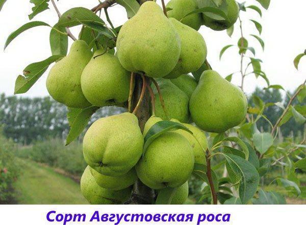 сорт Августовская роса