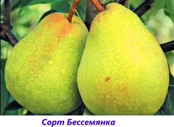 груша Бессемянка