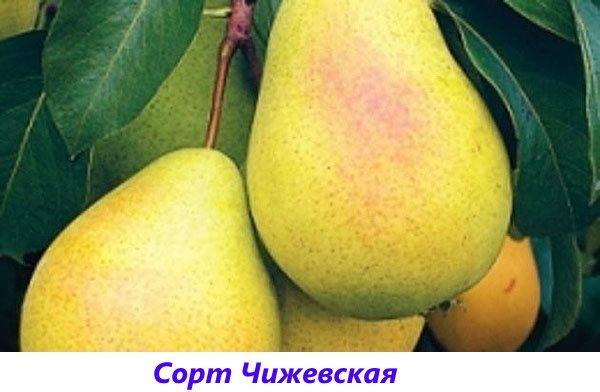 груша Чижевская