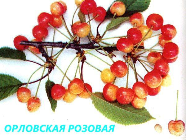 сорт Орловская розовая