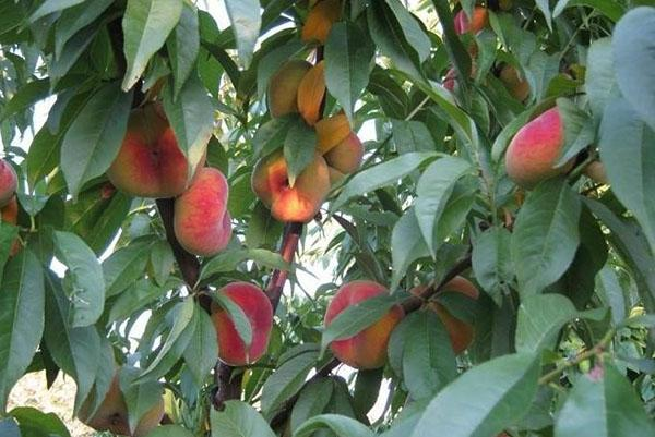 созревает инжирный персик в саду