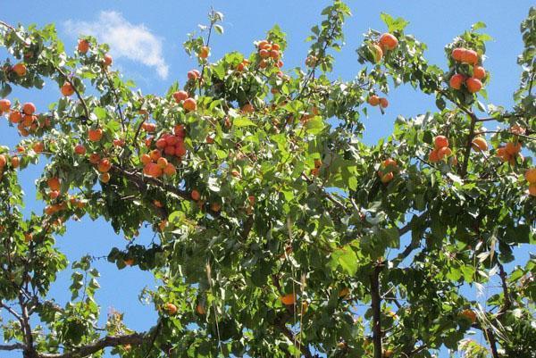 созревает Кичигинский абрикос