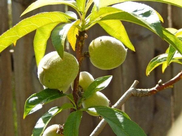 созревают плоды персика
