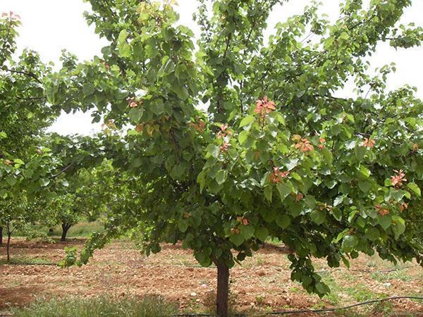 ухоженное дерево абрикоса